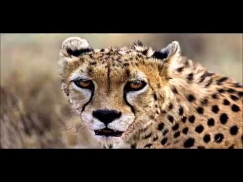 It's still possible to save the Asiatic Cheetah from extinction (https://igg.me/at/YNFYNJkDAqM)