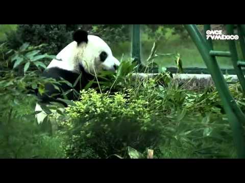 Cápsula 14 - Oso panda