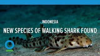"New species of ""walking"" shark found in Indonesia - Conservation International (CI) - 2013"