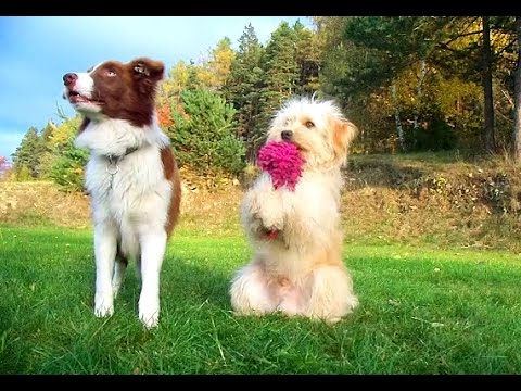 Amazing dog tricks performed by Jade & Justy!