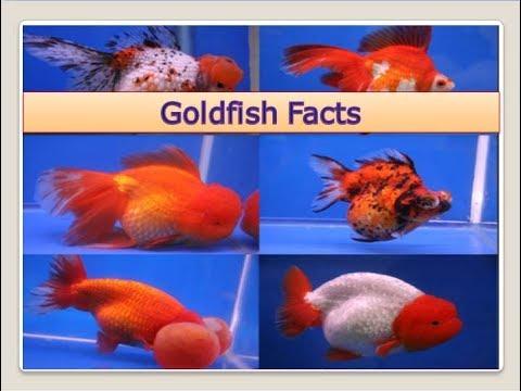 Goldfish Carassius Auratus Facts