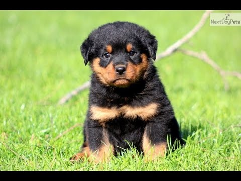 Rottwieler Puppies For Sale In Jackson Mississippi Ms