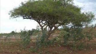 Baixar PÉ DE UMBUZEIRO