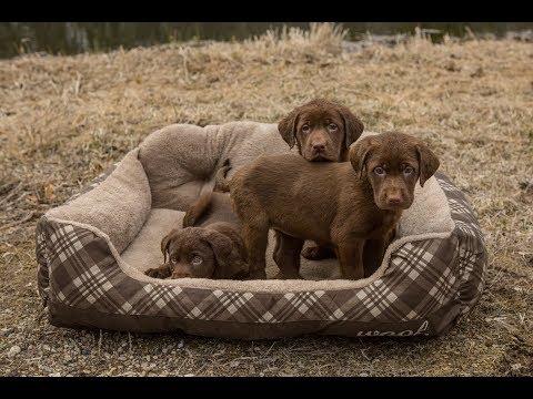 Labrador Retriever Coat Colors