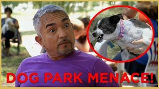 HE HAS BITTEN EVERYONE! (DOG PARK MENACE) | Cesar911 Shorts