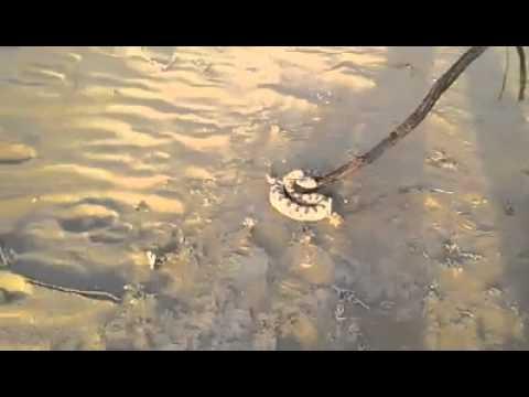 اخطر الافعي صحراء الجزائر