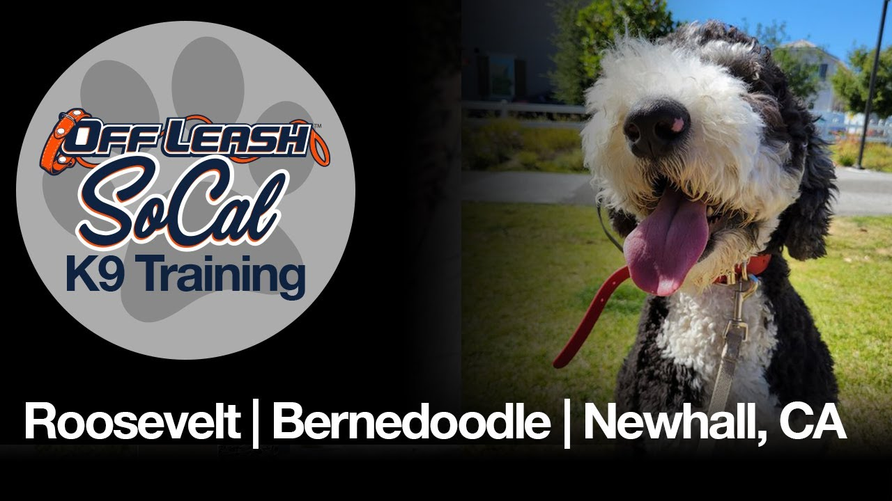 Roosevelt   Bernedoodle   Newhall, CA