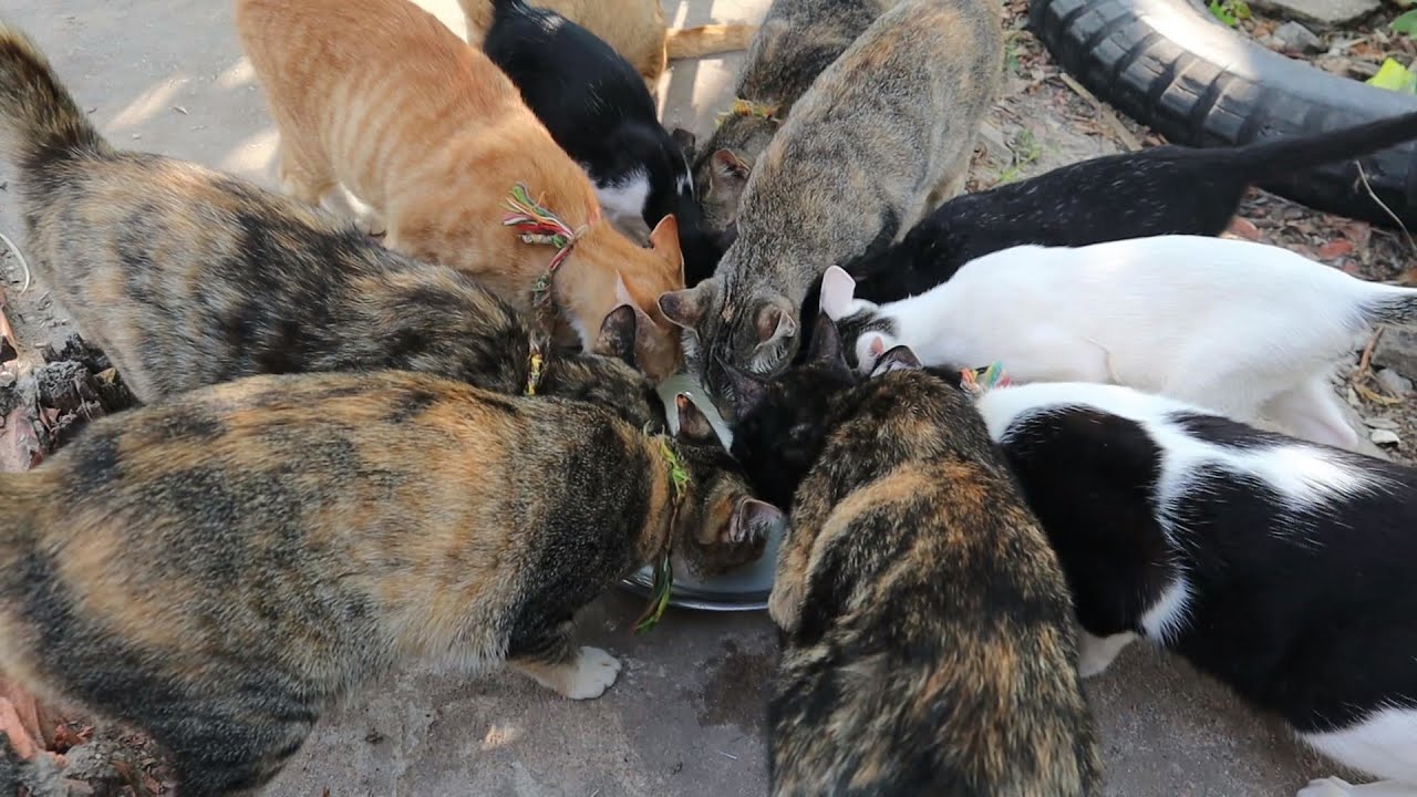 Many Cats Like Milk - Group Cats Drink Milk   The Gohan Dog And Cats