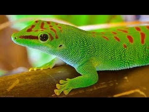 giant day gecko care   youtube