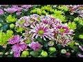 Chrysanthemum Varieties