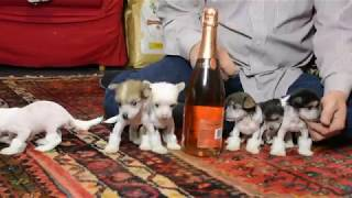 MythicKingdom Chinese Crested puppies after their  1st haircuts playing on the floor 5 5 weeks