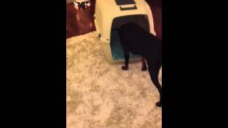 Doberman Crate Training