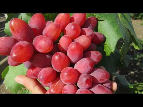 Сорта винограда. Новинки виноград 2018