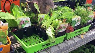 Possum munching in Bunnings
