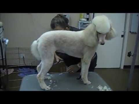 grooming the standard poodle 3 trims youtube