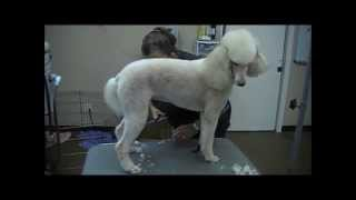 Grooming The Standard Poodle (3 Trims)
