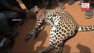 Two suspected arrested over brutal killing of leopard