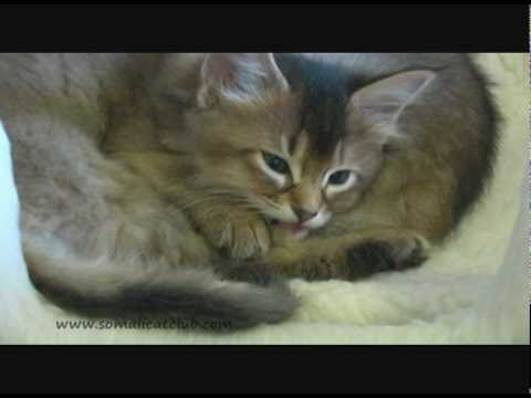 Livvy The Somali Cat's Cute Kittens