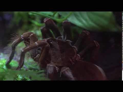 Goliath Bird Eating Tarantula Smithsonians National Zoo