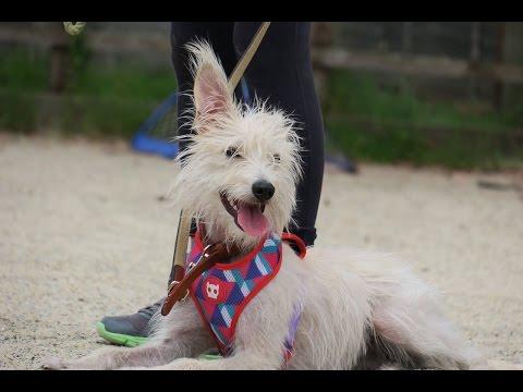 Lily - Bedlington x Whippet - 2 Weeks Residential Dog Training