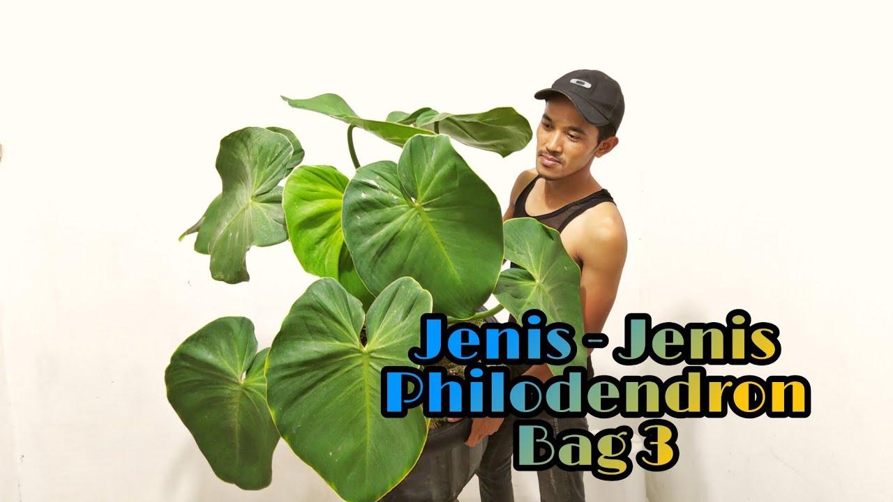 Jenis - jenis Philodendron Bag 3