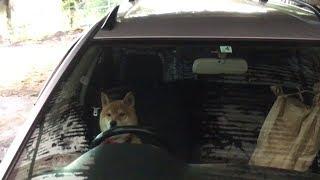 イタズラをして車で逃走しようとする柴犬 Shibe plays pranks and about to escape by car. やりすぎ!!!イタズラくん 検索動画 11