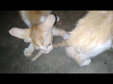 Don't Touch Meh ! I'Z Eatinz - No Touchy ! Angry Kitten #drtusarofficial