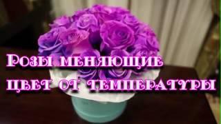 Розы меняющие цвет. Купить букет роз. Розы Хамелеоны.