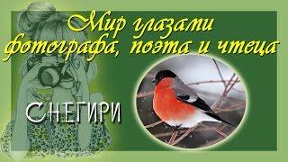 Зимние птицы снегири Фото, стихи