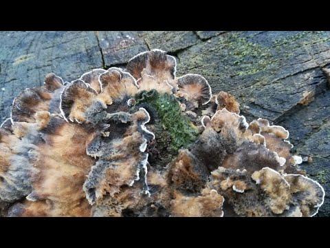 Скоро Новый год. Пора в лес по грибы. В поисках триходермы.