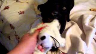 Leno, The Chihuahua/miniature Greyhound Puppy!