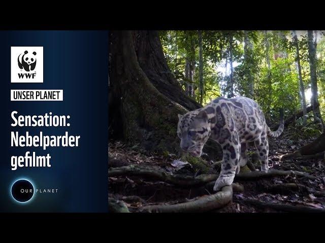 Sensation: Nebelparder gefilmt und Affen posieren für Selfies   WWF Unser Planet