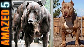 5 Most Muscular Dog Breeds In The World