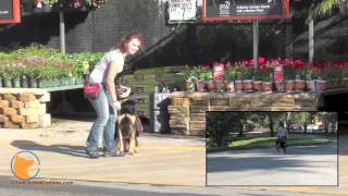Real-world Dog Training In Public Places With Roxy (naples, Florida Dog Training)