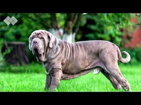 10 Razze di Cani BANDITE Perché Troppo Pericolose