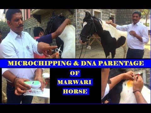 MICROCHIPPING & DNA PARENTAGE of MARWARI HORSE