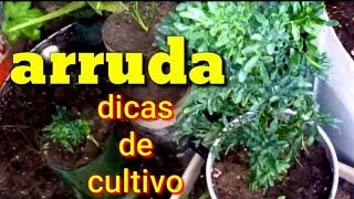 Antes de plantar arruda veja este vídeo