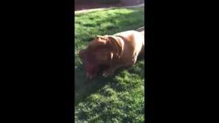 Fiona The Dogue De Bordeaux Is Available For Adoption Through Big Bully Rescue
