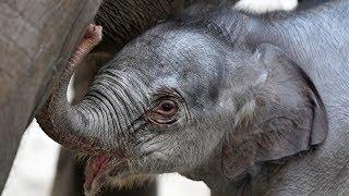Слонёнок родился в бельгийском зоопарке в рождественские праздники (новости)
