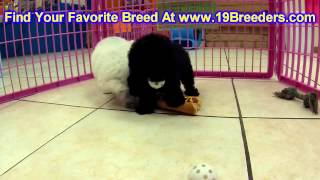 Toy Poodle, Puppies, For, Sale, In, Kansas City, Missouri, Mo, Ballwin, Wentzville, University City,