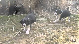 Border Collie And English Springer Saniel Puppies For Sale In Pa.