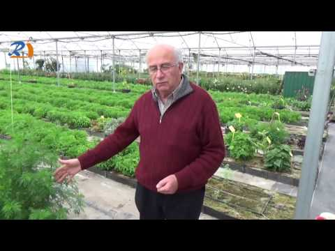 ARTEMISA ANNUA:  DICCIONARIO DE PLANTAS MEDICINALES - JOSEP PÀMIES