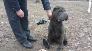 Дрессировка собак -ШАРПЕЙ РИЧАРД 10 МЕС
