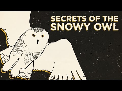 Secrets Of The Snowy Owl | NPR's SKUNK BEAR