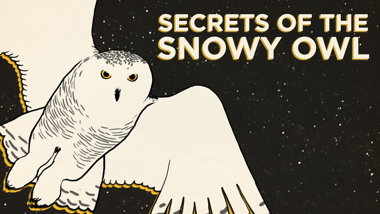secrets-of-the-snowy-owl
