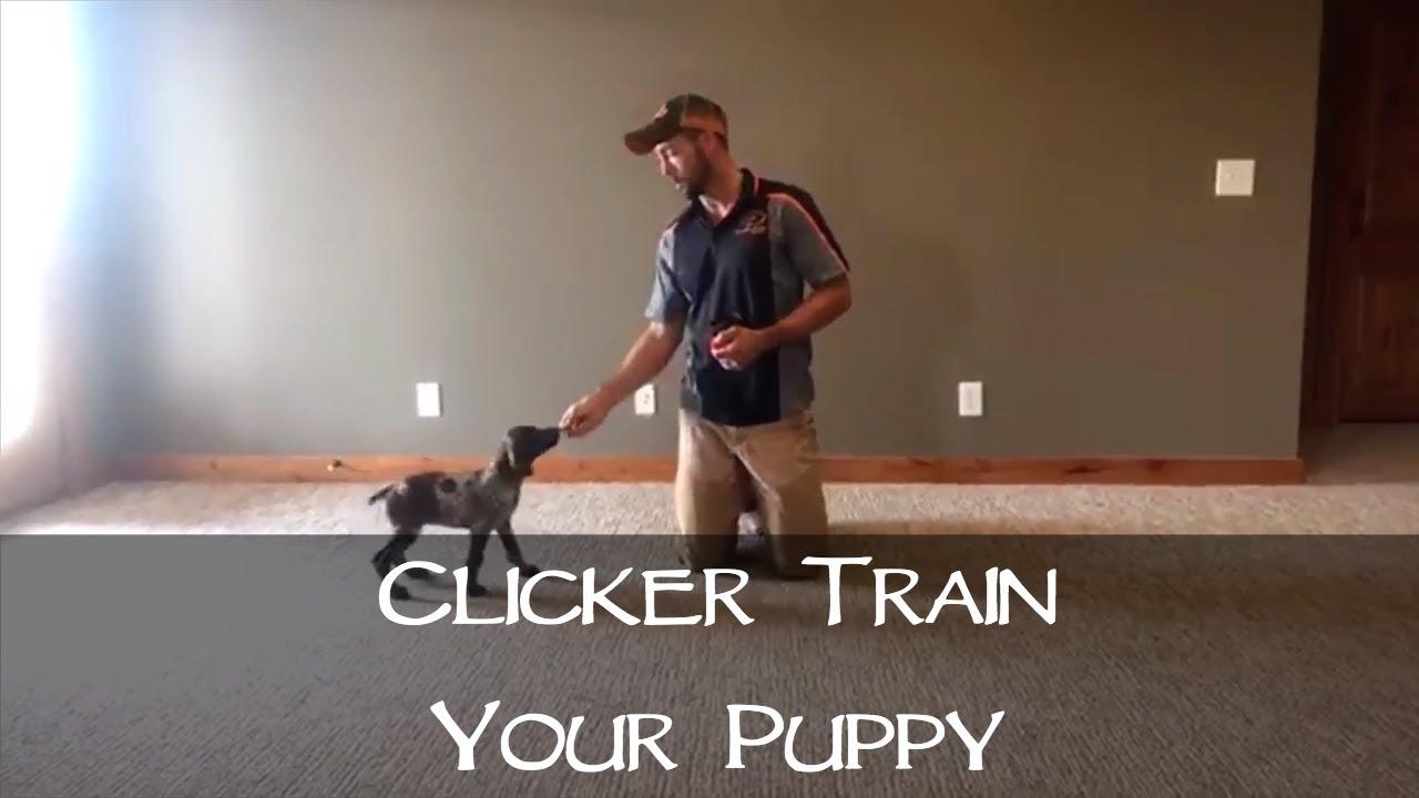 Clicker Training Your New Puppy Part 1 Upland Bird Dog