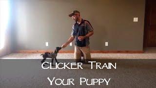 Clicker Training Your New Puppy  Part 1  Upland Bird Dog Training