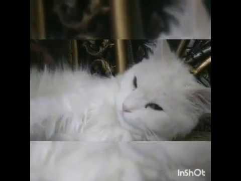 cat videos; funny cats | cat breeds