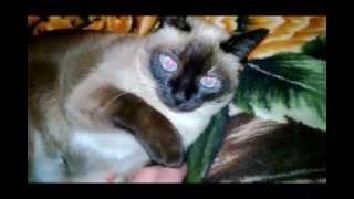 Вот что значит сиамская кошка!