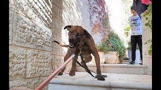 تحدي هل سيعضني كلب رجباك يستعمل لمطاردة النمور في افريقيا مع جمال العمواسي